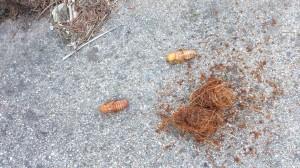 larva picudo