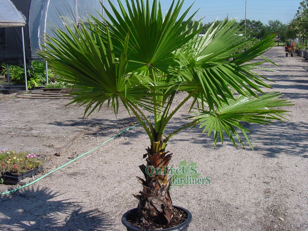 Plantas Washingtonia