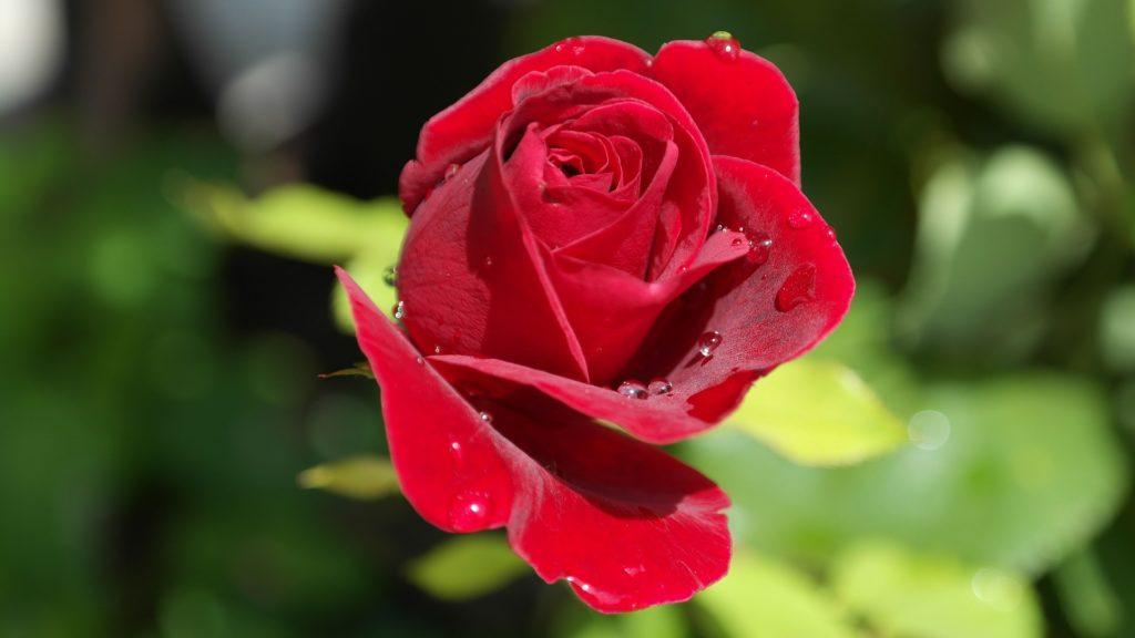 cultivo sostenible de rosas