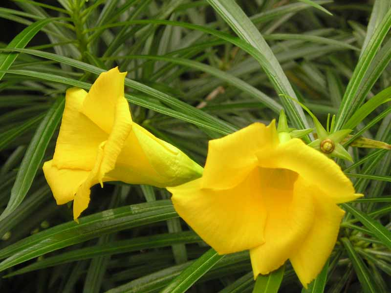 adelfa amarilla quercus jardiners jardin mediterraneo
