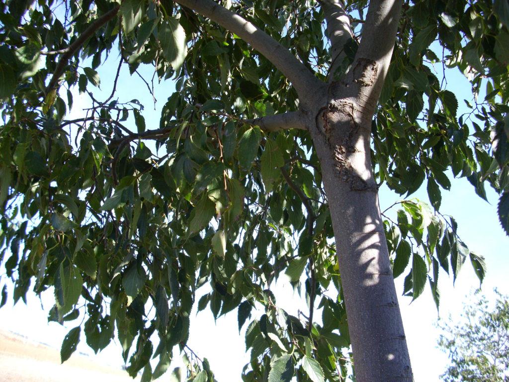 almez quercus jardiners jardin mediterraneo