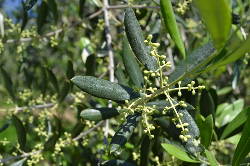 olivo quercus jardiners jardin mediterraneo